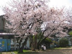 校庭の桜1