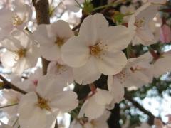 校庭の桜2
