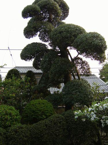 施行前庭の木