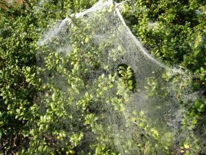 蜘蛛の巣、朝露、黄楊、2