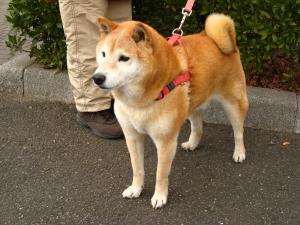 柴犬「太郎」、