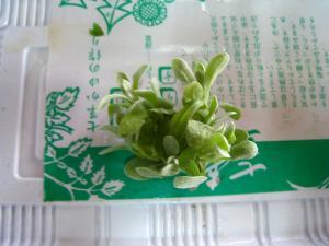 春の七草10
