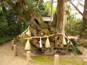 愛媛県大三島、大山祇神社、能因法師雨乞いの楠3