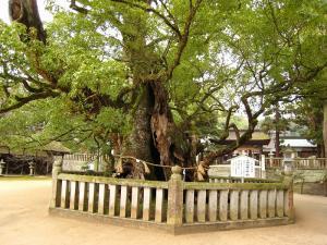 愛媛県大三島、大山祇神社、おちの命の楠2