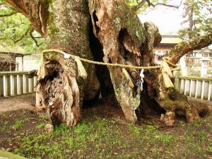愛媛県大三島、大山祇神社、おちの命の楠3