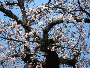 2009、油木交番の桜1
