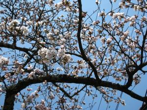 2009、油木交番の桜2