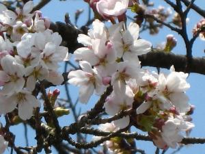 2009、油木交番の桜3