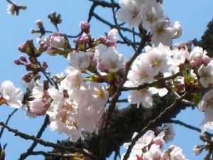2009、油木交番の桜4