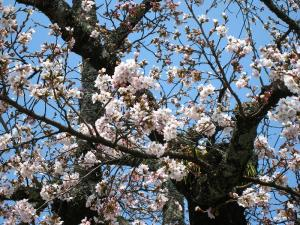 2009、油木交番の桜5