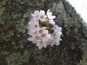 2009、坂瀬川の桜
