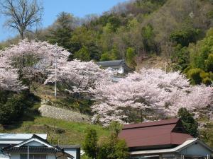 2009、真光寺の桜
