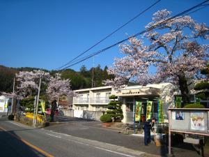 2009、油木交番の桜6