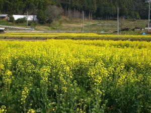 2009、菜の花畑、甲山