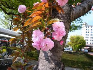 倉敷中央病院、桜1