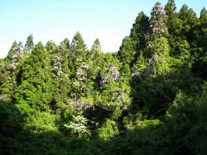 「藤の花」木を山を飲み込んでいきます!