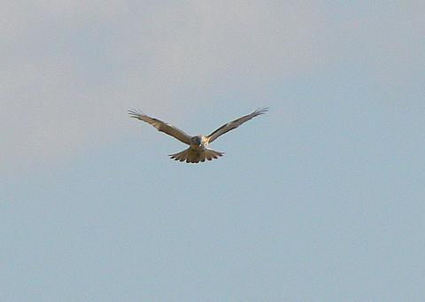 081101 猛禽不明種2