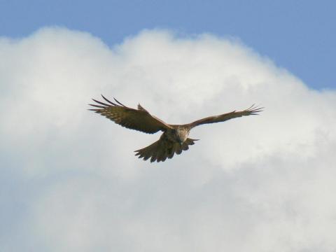 081101 猛禽不明種7