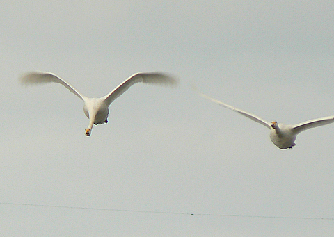 090104 ハクチョウ飛翔4