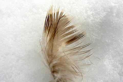 090117 ノスリの羽根1