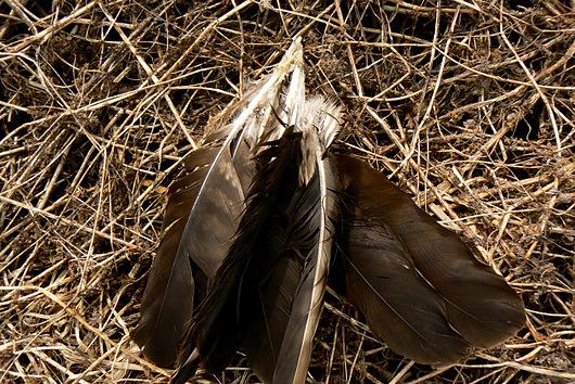 090404 トビの羽根2