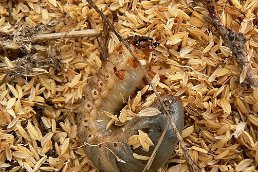 090425 カブトムシ幼虫1