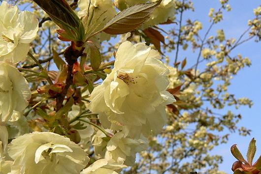090503 黄色い桜1