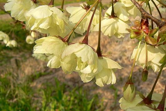 090503 黄色い桜2