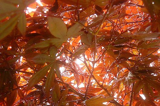 090531 モミジの木漏れ日