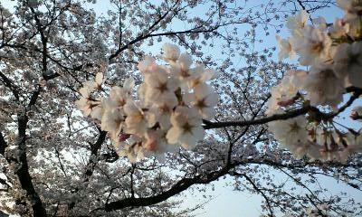2009鴨川の桜①