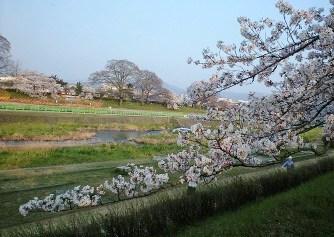 2009鴨川の桜②