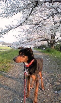 2009鴨川の桜とポチ②