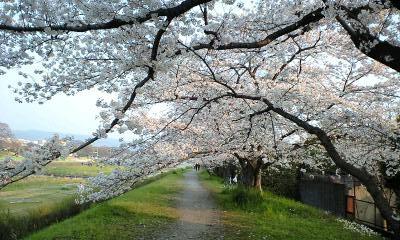 2009鴨川の桜③