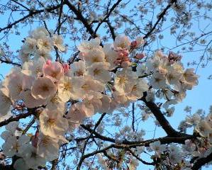 2009鴨川の桜④