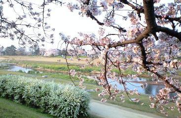 2009鴨川の桜⑤