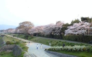 2009鴨川の桜⑥