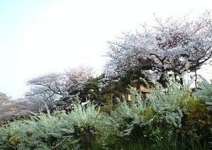 2009鴨川の桜⑦