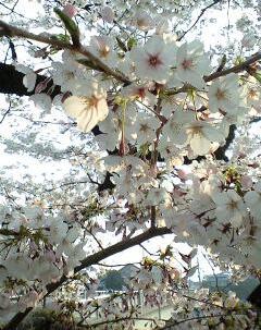 2009鴨川の桜⑧