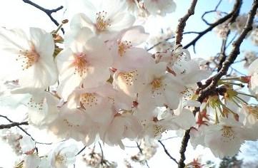 2009鴨川の桜⑨