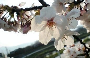 2009鴨川の桜⑩