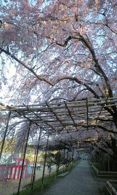植物園横のしだれ桜①