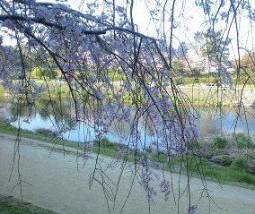 植物園横のしだれ桜②