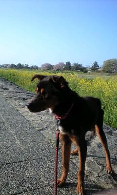 鴨川の菜の花とポチ