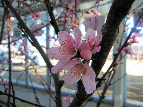 お先に失礼、桃の花