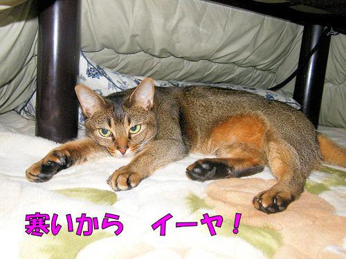 コタツに猫が根を張った
