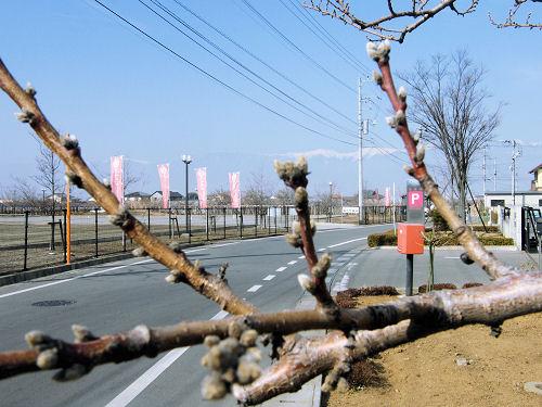 春を待つ桃の蕾
