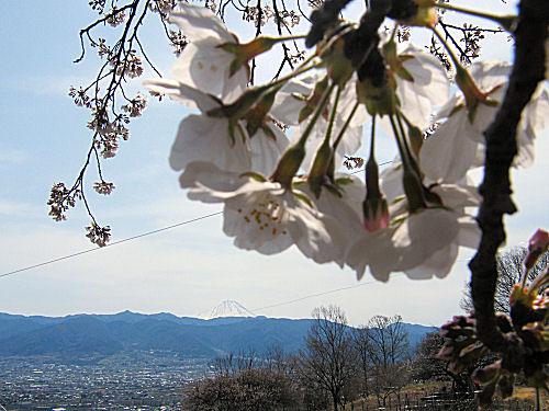 甲府愛宕山の桜