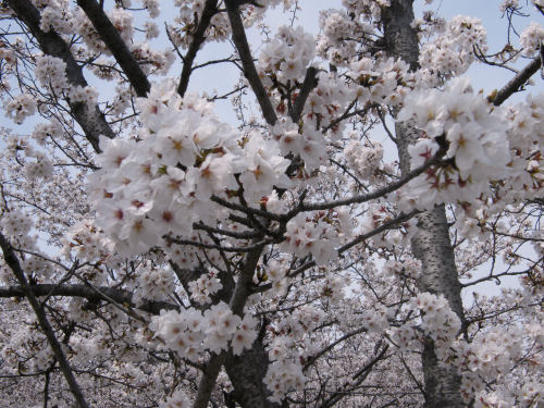 桜、舞いづる城