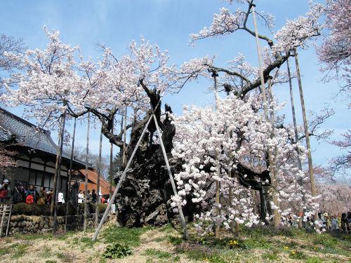 日本最古 山高の神代桜