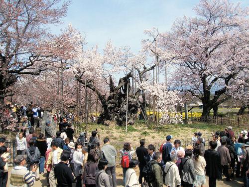 神代桜の人波